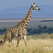 Common Giraffe Poster