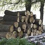 Cut Tree Trunks Piled Up For Further Processing After Logging Poster