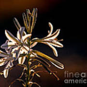 Desert Easter Lily Poster by Robert Bales