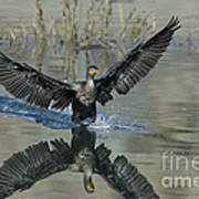 Double-crested Cormorant Poster