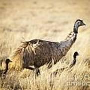 Emu Chicks Poster by Tim Hester