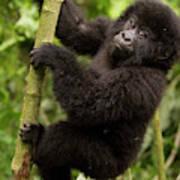 Endangered Mountain Gorillas Habitate Poster