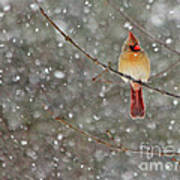 Female Cardinal In Snow Poster