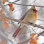 Female Cardinal In Winter Poster