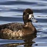Female Scaup Poster