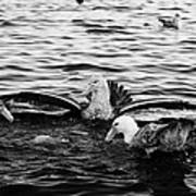 flock of southern giant petrels one showing sealmaster agressive feeding posture in port lockroy Ant Poster