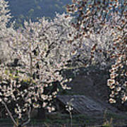 Flowering Almond Poster