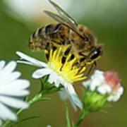Flowering Bee Poster