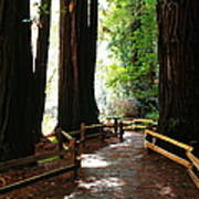 Giant Redwoods Poster