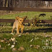 Golden Retriever Pup Poster by Linda Freshwaters Arndt