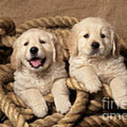 Golden Retriever Puppies Poster
