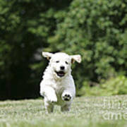 Golden Retriever Puppy Poster by John Daniels