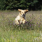 Golden Retriever Running Poster by John Daniels