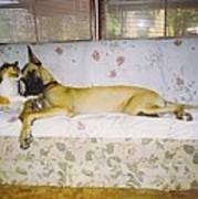 Great Dane And Calico Cat Poster