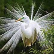 Great White Egret In Breeding Plumage Poster