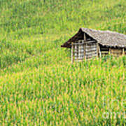Green Corn Field Poster