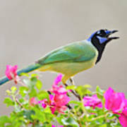 Green Jay (cyanocorax Yncas Poster