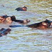 Hippopotamus Group In River. Serengeti. Tanzania. Poster