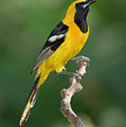 Hooded Oriole Poster