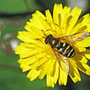 Hoverfly On Dandelion Poster