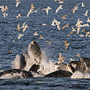 Humpback Whales Feeding With Gulls Poster