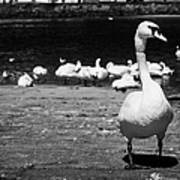 large swan on slipway protecting flock in galway bay Galway city county Galway Republic of Ireland Poster