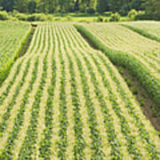 Late Summer Corn Field In Maine Poster