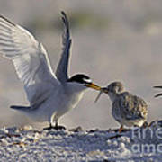 Least Tern Feeding It's Young Poster