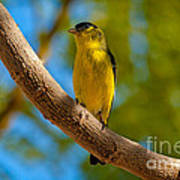 Lesser Goldfinch Poster