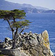 Lone Cypress Tree Poster