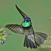 Magnificent Hummingbird Poster