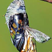 Malachite Butterfly Metamorphosis Poster