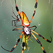 Male And Female Silk Spiders With Prey Poster