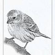 Male House Finch Sketch  Poster
