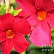 Mandevilla Named Sun Parasol Crimson Poster