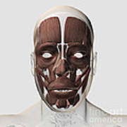 Medical Illustration Of Male Facial Poster