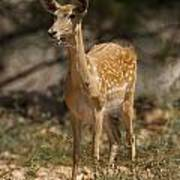 Mesopotamian Fallow Deer  Poster