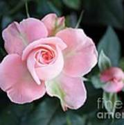Miniature Pink Roses Poster