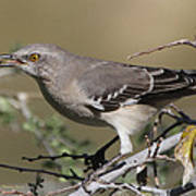 Mocking Bird With Ripe Hackberry Poster