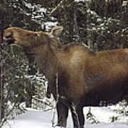 Moose Poster by Jennifer Kimberly