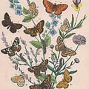 Nymphalidae Poster