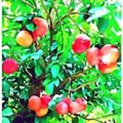 Orange Trees With Fruits On Plantation Poster