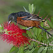 Orchard Oriole Poster