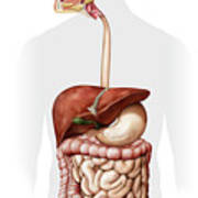 Overview Of The Digestive System Poster