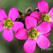 Oxalis Magnifica Poster