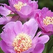 Paeonia Lactiflora 'bowl Of Beauty' Poster