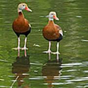 Pair Black-bellied Whistling-ducks Poster
