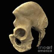 Pelvic Bones Male Poster
