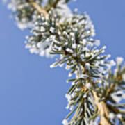 Pine Tree Branch Poster