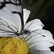 Pine White Butterfly Poster